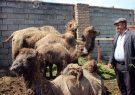 پرورش شتر دوکوهانه در شهرستان مرند حمایت می شود